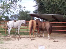 Picture of three mares